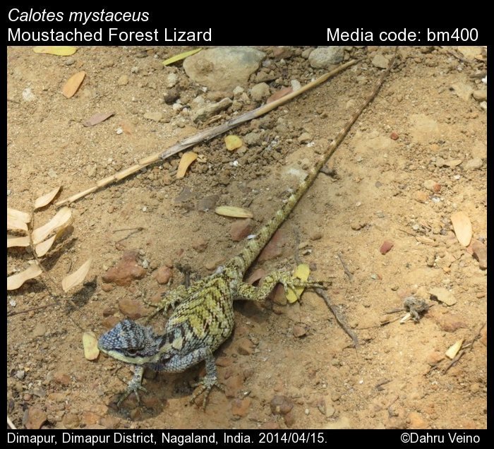 forest lizard in india