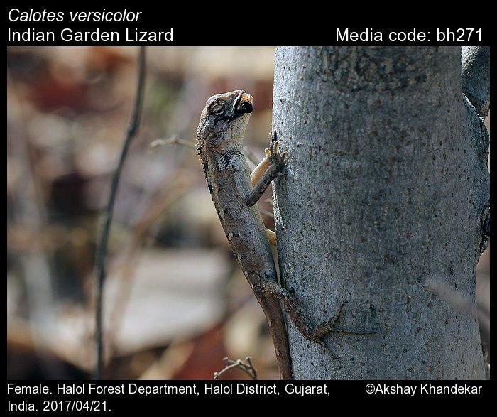 Calotes versicolor - Indian Garden Lizard - Reptiles of India