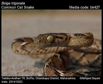 Boiga trigonata - Common Cat Snake