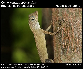 Coryphophylax subcristatus - Bay Islands Forest Lizard