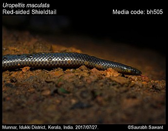 Uropeltis maculata - Red-sided Shieldtail
