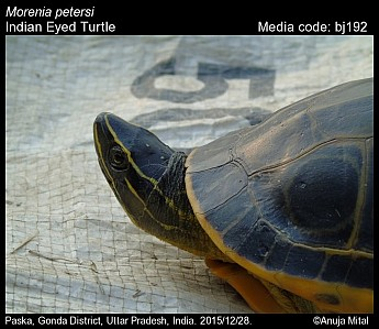 Morenia petersi - Indian Eyed Turtle