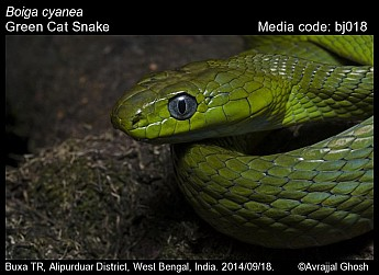Boiga cyanea - Green Cat Snake