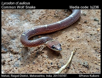 Lycodon aulicus - Common Wolf Snake