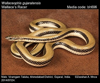 Wallaceophis gujaratensis