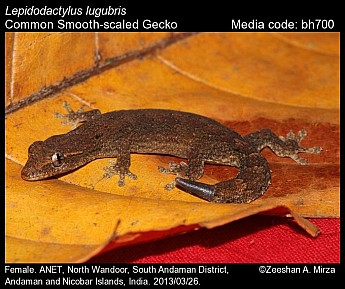 Lepidodactylus lugubris - Common Smooth-scaled Gecko