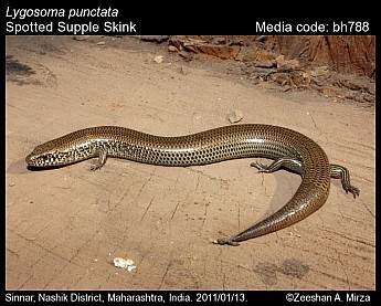 Lygosoma punctata - Spotted Supple Skink