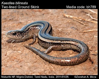 Kaestlea bilineata - Two-lined Ground Skink
