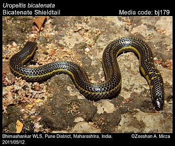 Uropeltis bicatenata - Bicatenate Shieldtail