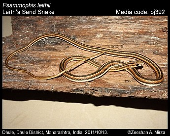 Psammophis leithii - Leith's Sand Snake