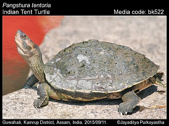 Pangshura tentoria - Indian Tent Turtle