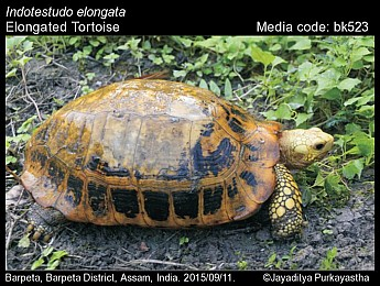 Indotestudo elongata - Elongated Tortoise