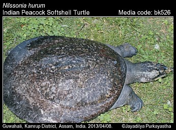 Nilssonia hurum - Indian Peacock Softshell Turtle