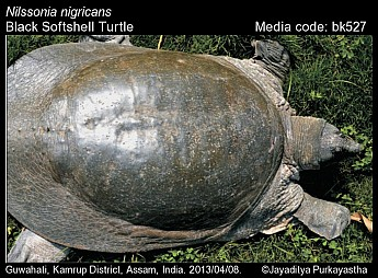 Nilssonia nigricans - Black Softshell Turtle