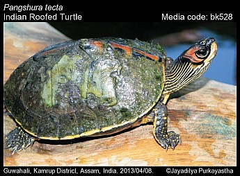 Pangshura tecta - Indian Roofed Turtle
