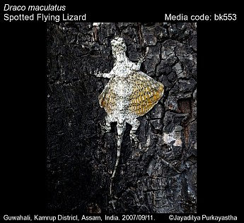 Draco maculatus - Spotted Flying Lizard