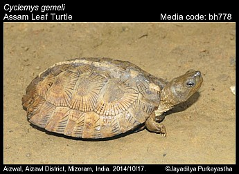 Cyclemys gemeli - Assam Leaf Turtle