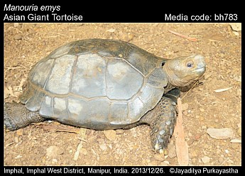 Manouria emys - Asian Giant Tortoise