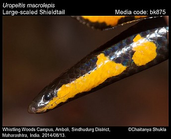 Uropeltis macrolepis - Large-scaled Shieldtail