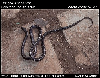 Bungarus caeruleus - Common Indian Krait