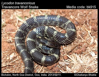 Lycodon travancoricus - Travancore Wolf Snake