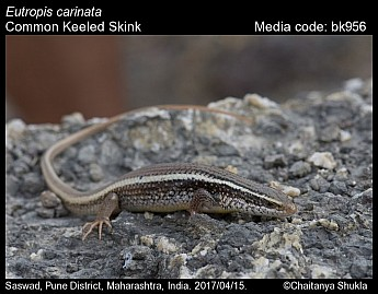 Eutropis carinata - Common Keeled Skink