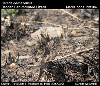 Sarada deccanensis - Deccan Fan-throated Lizard