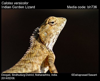 Calotes versicolor - Indian Garden Lizard