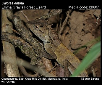 Calotes emma - Emma Gray's Forest Lizard