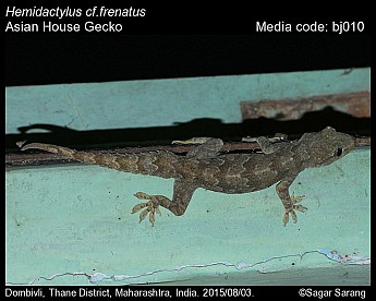 Hemidactylus frenatus - Asian House Gecko