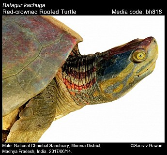 Batagur kachuga - Red-crowned Roofed Turtle