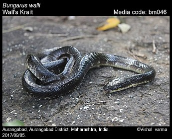 Bungarus walli - Wall's Krait