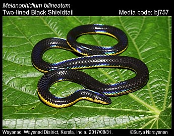 Melanophidium bilineatum - Two-lined Black Shieldtail