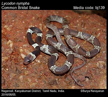 Lycodon nympha - Common Bridal Snake