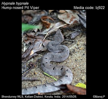 Hypnale hypnale - Hump-nosed Pit Viper