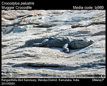 Crocodylus palustris - Mugger Crocodile