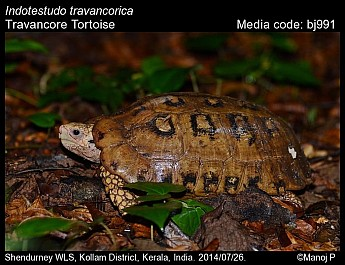Indotestudo travancorica