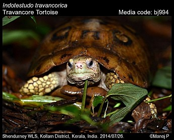 Indotestudo travancorica - Travancore Tortoise
