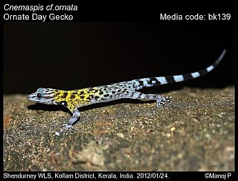 Cnemaspis ornata - Ornate Day Gecko
