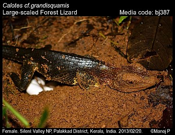 Calotes grandisquamis - Large-scaled Forest Lizard