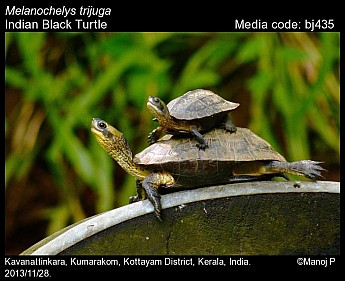 Melanochelys trijuga - Indian Black Turtle