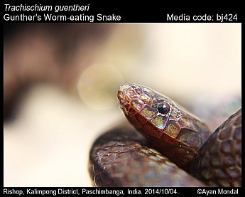 Trachischium guentheri - Gunther's Worm-eating Snake