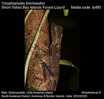 Coryphophylax brevicaudus - Short-Tailed Bay Islands Forest Lizard