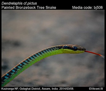 Dendrelaphis pictus - Painted Bronzeback Tree Snake
