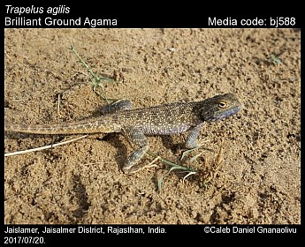 Trapelus agilis - Brilliant Ground Agama