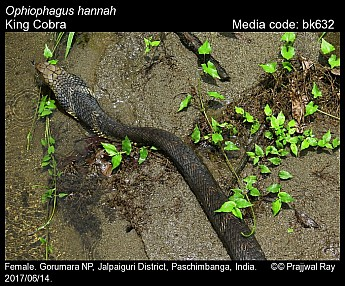 Ophiophagus hannah - King Cobra