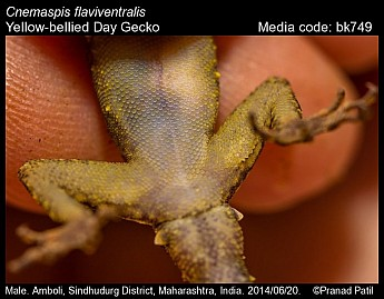 Cnemaspis flaviventralis - Yellow-bellied Day Gecko