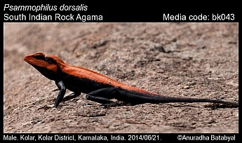 Psammophilus dorsalis - South Indian Rock Agama