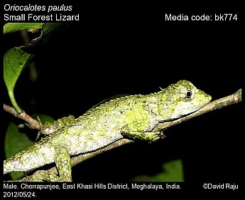Oriocalotes paulus - Small Forest Lizard