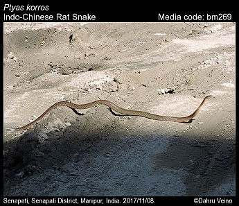 Ptyas korros - Indo-Chinese Rat Snake